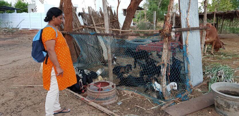 Geder giver mælk og typisk to kid årligt, hvilket kan skabe indkomst til landsbyen.